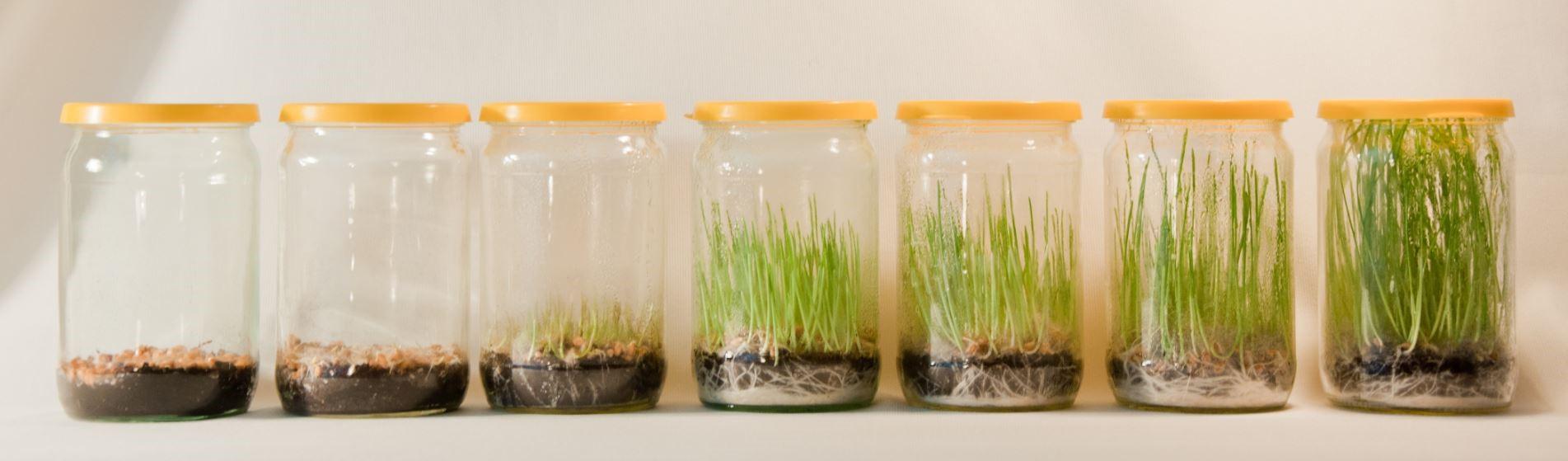 Как в домашних условиях посадить пшеницу в 655